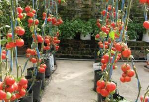 budidaya-tomat-dalam-polybag-300x206