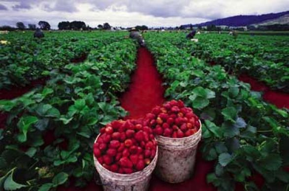Perkebunan Strawberry