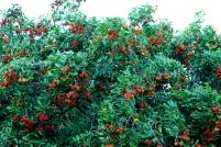Perkebunan Rambutan
