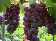 Perkebunan Anggur