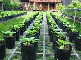 Bertanam dengan Polybag 1
