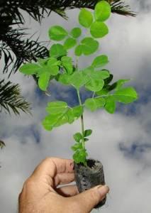 Cara-Menanam-Pohon-Kelor-Yang-Baik-dan-Benar