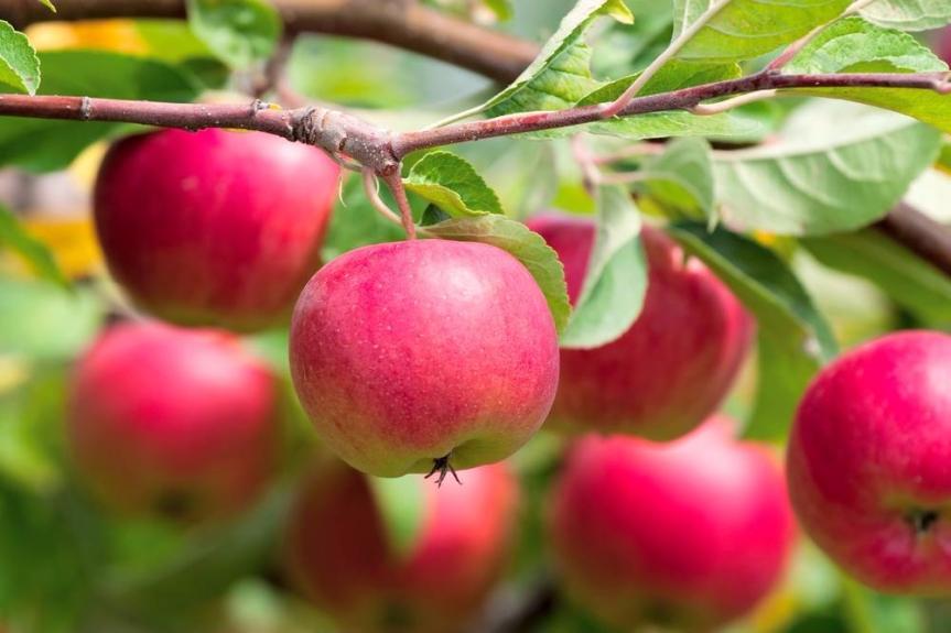 Cara Menanam Apel Dari Biji diPot