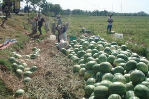 semangka panen raya