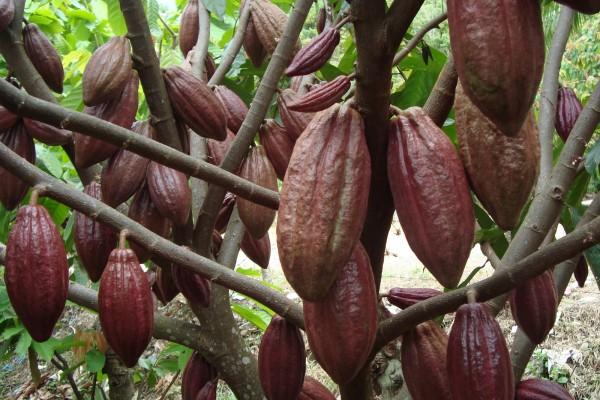 Inilah Cara Rahasia Bertanam Kakao DiPolybag!!