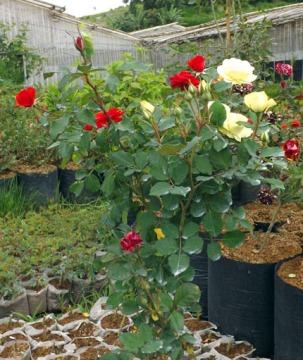 bunga-mawar-kolaborasi