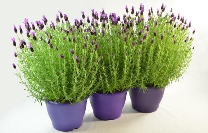 Cara-Menanam-Bunga-Lavender