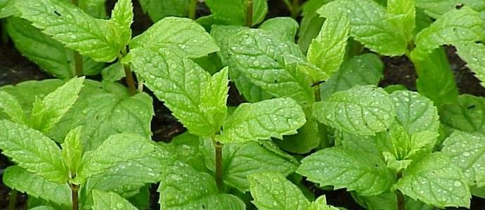 cara_mengenal_tanaman_mint