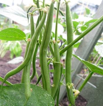 menanam-buncis-di-pot-atau-polybag