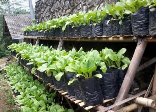 Cara-Budidaya-Sayuran-dalam-Polybag-yang-Mudah