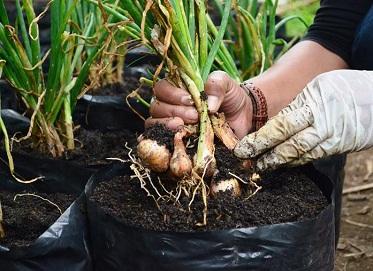 cara menanam bawang merah di rumah,cara menanam bawang putih,cara menanam bawang merah polybag,cara menanam bawang merah di musim hujan,cara menanam bawang merah yang baik,