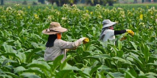 indonesia-negeri-tembakau