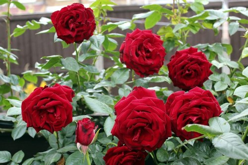 mawar-agrowindo