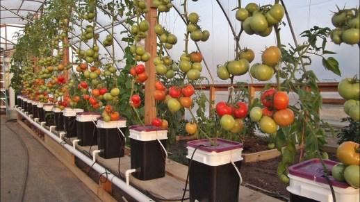 tomat DB
