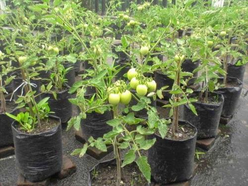 tomattt