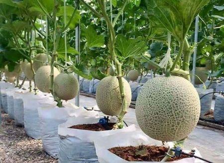 Budidaya Melon Polybag