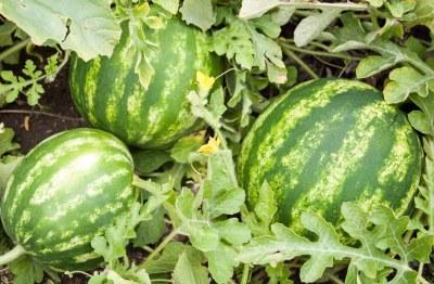 Semangka Pot