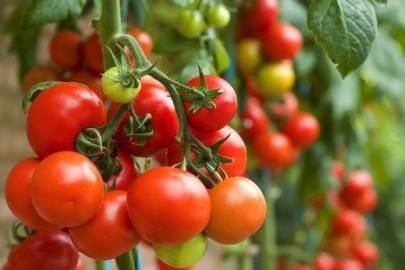Tomat Pot